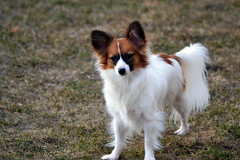 Curious (Pappup2010) Tags: dog pet white cute animal butterfly puppy toy small sable papillon pup pap toybreed butterflydog whiteandsable