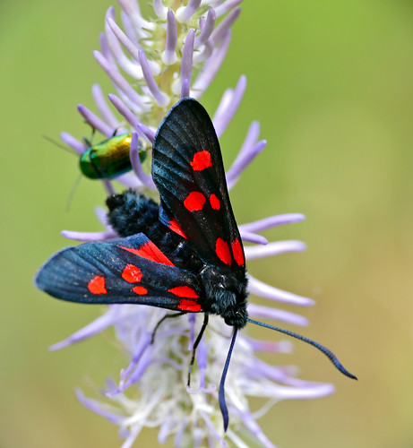 "Six-Spot Burnet (Zygaena filipendulae) ""5-spots form"""