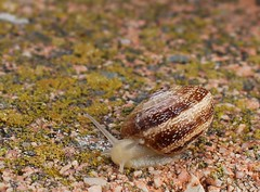 Caracol común (IvánSevilla22) Tags: caracol agua fauna moluscos gasterópodos terrestre