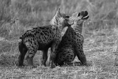 YOUNG ONES B+W (Mike Reval) Tags: kenya mara bw hyena animals