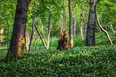 Wild garlic (jamietaylor2127) Tags: flora rural landscape garlic wild nature scenic woodland outdoors enviroment uk trees trunk sun summer ngc