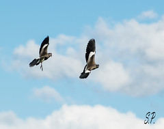 Ataque aereo (Air attack) (eSePoste) Tags: teros avefria ataque aereo naturaleza dos gris blanco negro pampa argentina aire nuves celeste lapwing attack aerial nature two gray white black pampas air clouds light blue