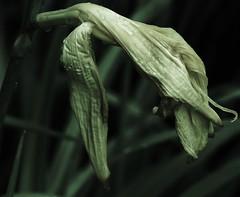 Daylily's Demise (Renee Rendler-Kaplan) Tags: flower macro wet rain yellow garden nikon mine gbrearview blossom daylily bloom raindrops dying mothernature perennial ending gapersblock chicagoist nikond80 reneerendlerkaplan