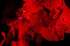 Wet Geranium after a rainy afternoon (Sanalejo Photography) Tags: flowers red flores flower macro closeup drops flor gotas geranium afterrain redgeranium kenkoextension sanalejophotography