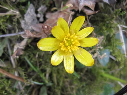 Celendine heralds the spring