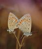 "azurés in coupling (aziouezmazouz) Tags: macro butterfly amazing colours bokeh ngc cutie 1001nights beautifulscenery bellissima awesomeshot vibrantcolours naturewatcher ""flickraward"" 1001nightsmagiccity"