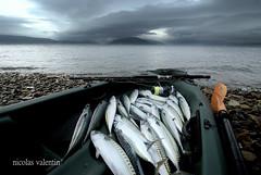 Sea of Plenty.. (Nicolas Valentin) Tags: mer clouds scotland fishing aqua kayak alba 28 gourock ecosse mackerels firthofclyde kayakfishing abigfave notabadafternoonfishing