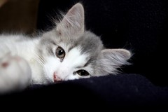 (Madelyn Collier) Tags: pink blue baby white black cat grey kitten gray kittens popeye