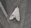 280610 Aloa lactinea Cramer, 1777 (Sachin Gurule) Tags: moth lepidoptera noctuidae arctiinae arctidae mothsofindia aloalactinea mothsofmaharashtra