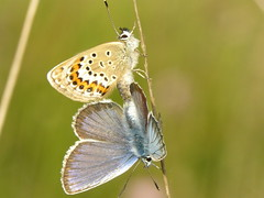 Silver-studded Blue Butterfly (Plebejus argus) (The LakeSide) Tags: macro butterfly insect plebejusargus silverstuddedbluebutterfly