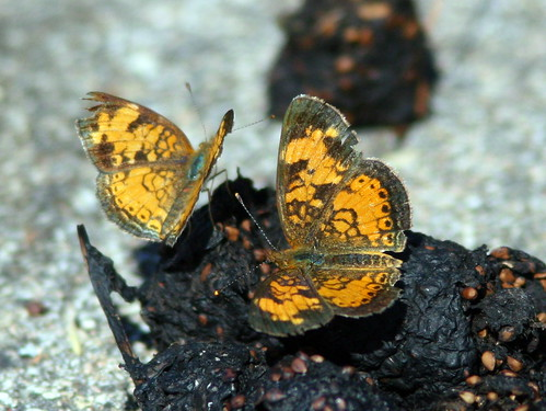 Pearl Crescent butterflies on dung 20100630
