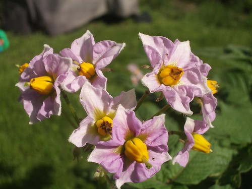 Potato Flowers 3