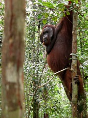 Male Orangutan in Tanjung Puting National Park