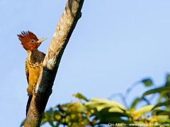 Kaempfer's Woodpecker - Celeus obrieni