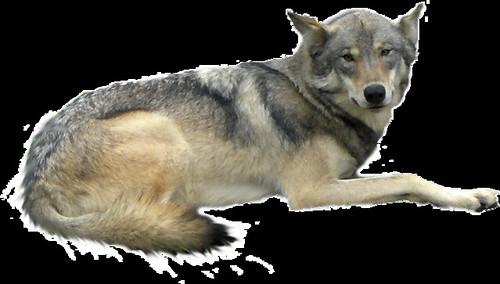 Wolf Snip