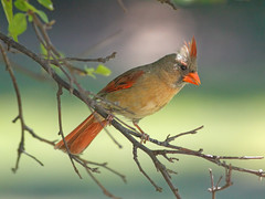 Female Northern Cardinal (Tony Tanoury) Tags: michigan bird cardinal femalenortherncardinal northerncardinal red cardinaliscardinalis animal avian beak bill fauna nature ornithology wild wildlife closeup feather birdwatching perch tree crest potofgold