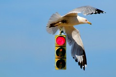 Stop and Think About It (floralgal) Tags: bird composite trafficlight wings seagull creative bluesky roadsign stoplight redlight birdinflight seagullandstoplight creativebirdphoto seagullandtrafficlight bidandtrafficlight