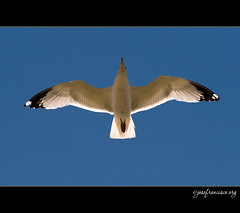 Seagull [7695] (josefrancisco.salgado) Tags: usa lake chicago bird fauna lago us illinois seagull unitedstatesofamerica lakemichigan ave gaviota pájaro adlerplanetarium northerlyisland