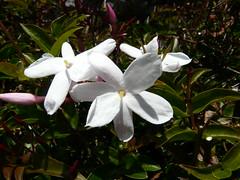 P1360852 Jasmine (armadil) Tags: jasmine flower flowers 070410