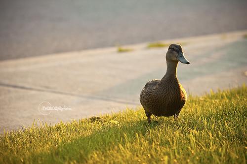 quack! day 187 (16)