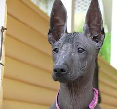 Those ears ;P (revival74) Tags: dog inca hairless peruvian