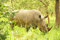 7a. Taleo, the dominant male at Ziwa Rhino Sanctuary