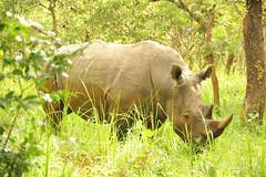 7a. Taleo, the dominant male at Ziwa Rhino Sanctuary