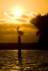 Pelican on Orange (MattGerlachPhotography) Tags: ocean light sunset sky orange brown reflection water silhouette clouds contrast bay kayak bright wildlife pelican eastbay outline saltwater nikond200 panamacityflorida mattgerlachphotography parkerflorida