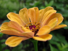 Friday's Flower (ninariver) Tags: flowers flores green nature yellow garden petals mijardin yellowflowers zinnias myfrontyard floresamarillas ninariver