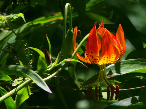 Leopard Lily 20100624