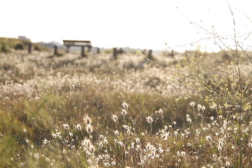 Golden field of Brignogan 2