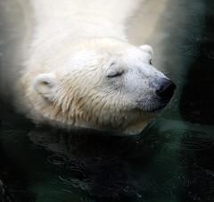 Polar bear (floridapfe) Tags: bear white eye water rain animal zoo close peaceful korea polar everland 에버랜드 poarbear