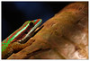 Copyrighted © Manapany (Pillot) Tags: winter macro nature saint les canon de joseph eos la reptile hiver july vert 1966 100mm des lizard species gecko usm endemic juillet indien f28 ef mertens réunion olivier saintjoseph bains lézard macrophotography île copyrighted océan phelsuma reptilia idian photographies archipel manapany squamata macrophotographie océanindien gekkonidae 974 endemism îledelaréunion 40d squamates esnault pillot endémique mascareignes gekkoninae îleintense photographiesnature inexpectata endémisme archipeldesmascareignes 97480 manapanylesbains olivieresnaultcom gekkonidés gekkoninés lézardvertdemanapany copyrightedmanapany