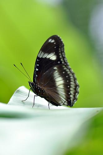 Great Eggfly(Hapolimnas bolina)幻紫斑蛺蝶
