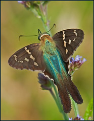 Long-tailed Skipper (Roy Brown Photography) Tags: nature ecology georgia butterflies conservation lepidoptera albany physiography dougherty skippers ellijay hesperiidae longtailedskipper urbanusproteus spreadwingskippers pyrginae physiographic roybrown roybrownphotography