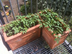 Two weeks after (Aleksi Aaltonen) Tags: sun tomato balcony sprout claphamroad167