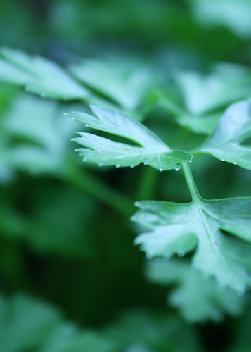 from the garden - parsley