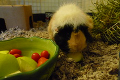 ABABY (kendrak) Tags: pet cute cavies cavy furry guineapigs rodents guienapigs
