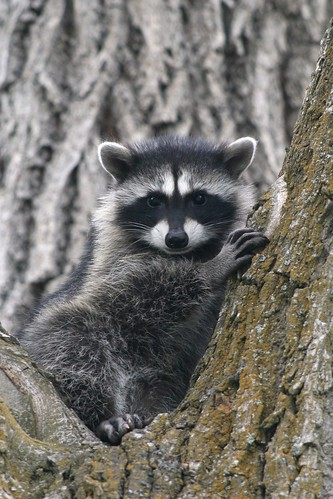 baby-raccoon-willow