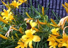 Flower_Butterfly_610d