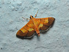 Botyodes flavibasalis Moore 1867 (P.S.SIVAPRASAD) Tags: moth lepidoptera moths crambidae spilomelinae mothsofindia botyodesflavibasalis botyodes flavibasalis mothsofkerala mothsofpalghat