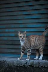2010_0714_051416 () Tags: cat canon 135mmf2 5dmarkii