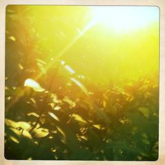 evening in the secret garden (jmtimages) Tags: life light summer green home leaves yellow austin evening texas outdoor july neighborhood juli t shining 2010 iphone hipstamatic