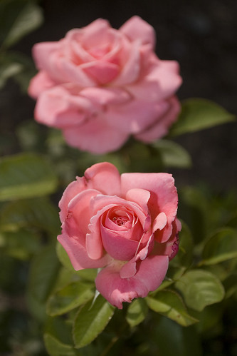 Floribunda Rose 'Sexy Rexy'