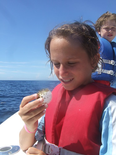 Harper with a long spined porcupinefish