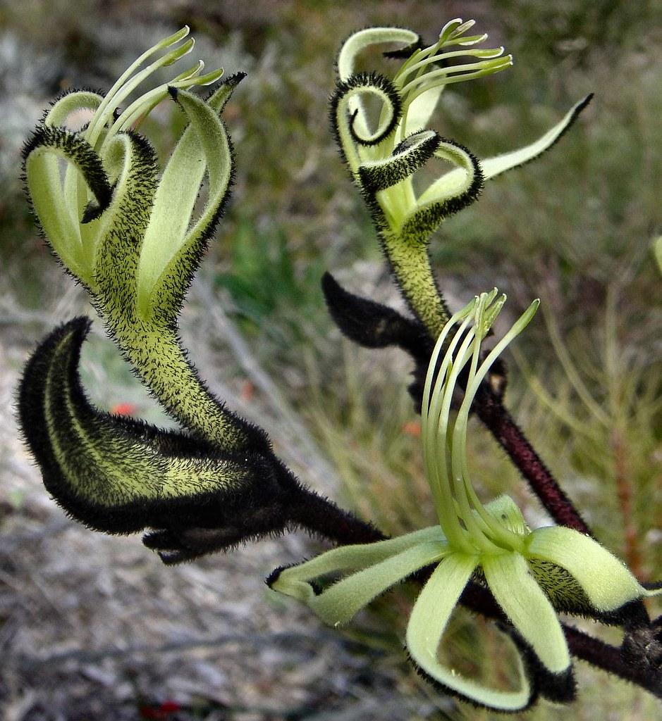 Mourning Johnston Drummond and Kabinger. Black Kangaroo Paw, Macropidia fuliginosa, Western Australian Botanical Garden, Perth, Australia