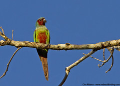 Pfrimer's Parakeet - Pyrrhura pfrimeri