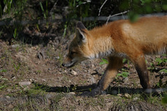 Red Fox Kit DSC_1214 (Ron Kube Photography) Tags: canada nature animal fauna mammal cub pups nikon alberta fox kits cubs kit pup carnivore redfox vulpesvulpes southernalberta d300s ronaldok nikond300s ronkubephotography