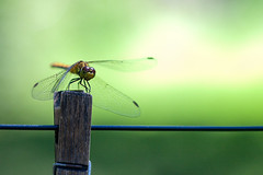 Dragonfly 3 (Boris Kuritsin) Tags: blue autumn summer sky sun plant macro green nature beauty grass animals silhouette horizontal closeup butterfly river insect fun photography see fly flying leaf spring eyes view natural dragonfly background wildlife wing seed objects nobody bugs swamp resting transparent preparation gripping beyondbokeh