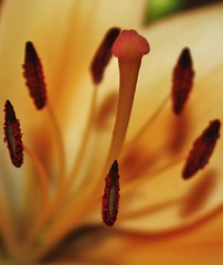 Summer Warmth (GracetheScene2010 (Astrid Ewing Photography)) Tags: summer orange macro closeup warm lily pollen